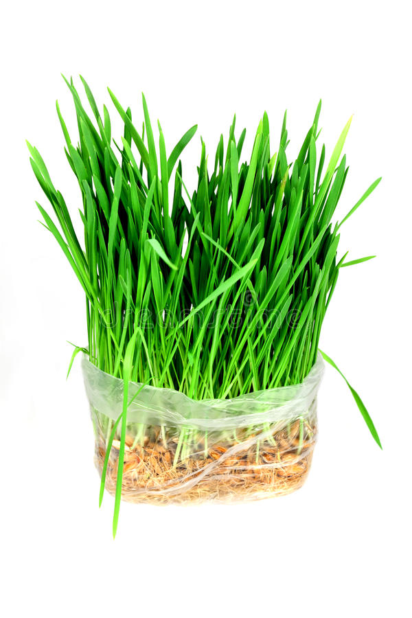 Download Green grass stock photo. Image of green, nature, oats - 13389198