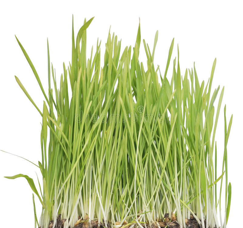 Download Green grass stock image. Image of growing, isolated, growth - 18440715