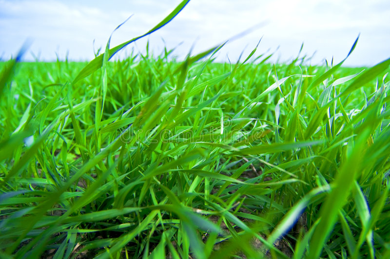 Download Green Grass Royalty Free Stock Photography - Image: 4813737