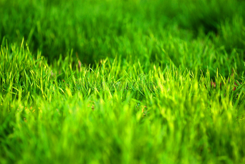 Green grass. Background of green grass, shallow depth of field