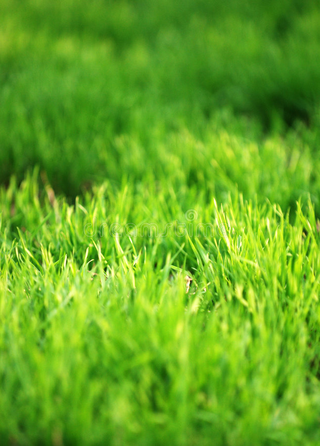 Green grass. A closeup of view of fresh, healthy green grass royalty free stock photo