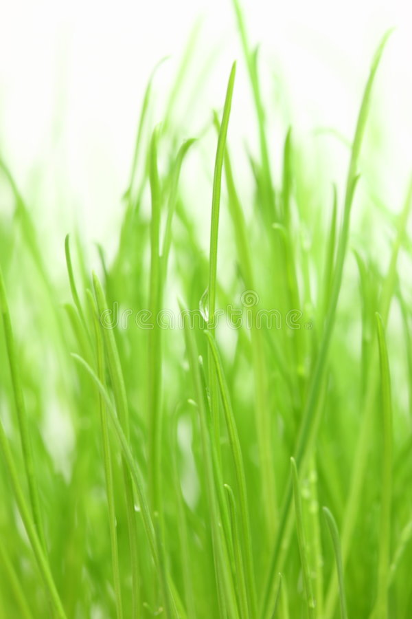 Green grass. Young green grass on white background. Studio stock image