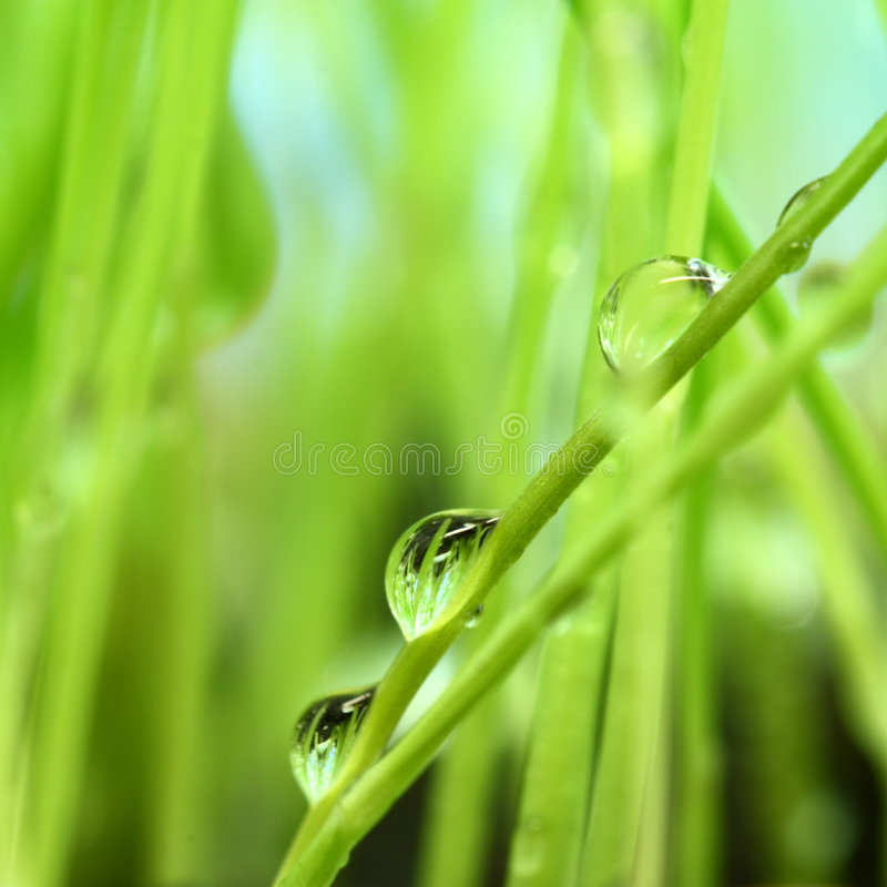 Green grass. Morning dew on green grass. Macro royalty free stock photography