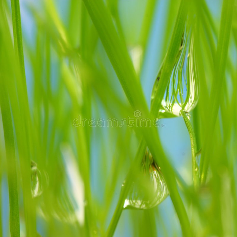 Green grass. Morning dew on green grass. Macro royalty free stock image