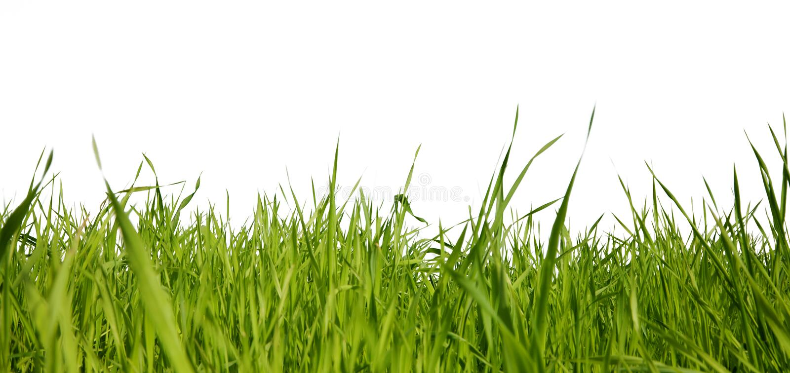Green grass. On a white background royalty free stock image