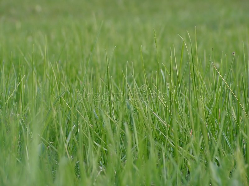 Download Green grass stock photo. Image of pure, plant, fields, background - 775234