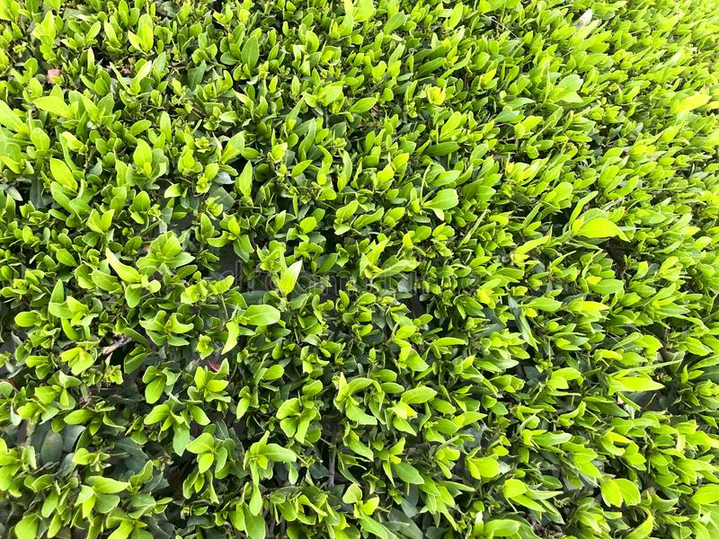 Green grass background. Backyard for background. Green lawn desktop picture. Green grass texture background, Green lawn, Backyard for background, Green lawn stock photo