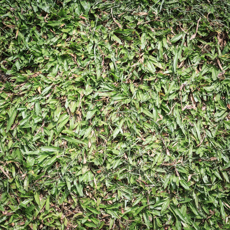 Green grass background. Dirty green grass in public park stock photos