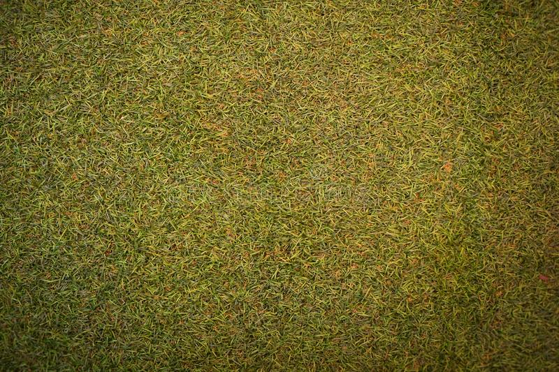 Green grass background texture. In gaden royalty free stock images