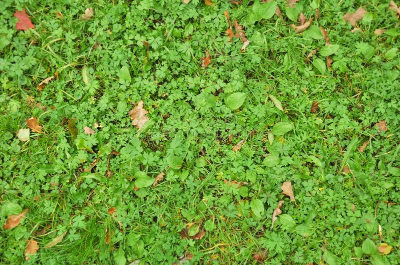 Green grass background, texture of grass. Plant pattern, foliage outdoor royalty free stock photos