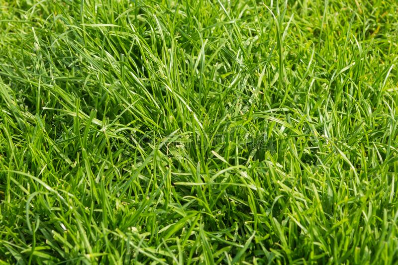Green grass background texture. Close up royalty free stock photography