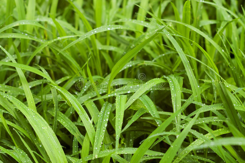 Green Grass Blades With Waterdrops Royalty Free Stock Images