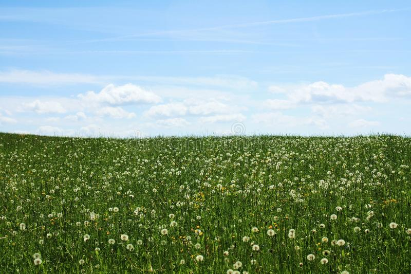 Green grass with blowballs blue sky with clouds royalty free stock photography