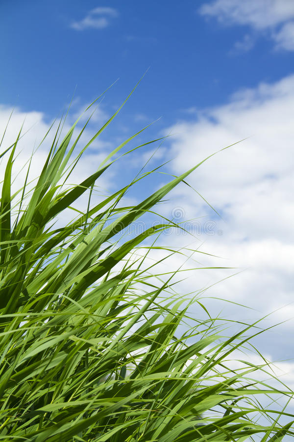 Download Green grass and blue sky stock image. Image of summer - 25999723