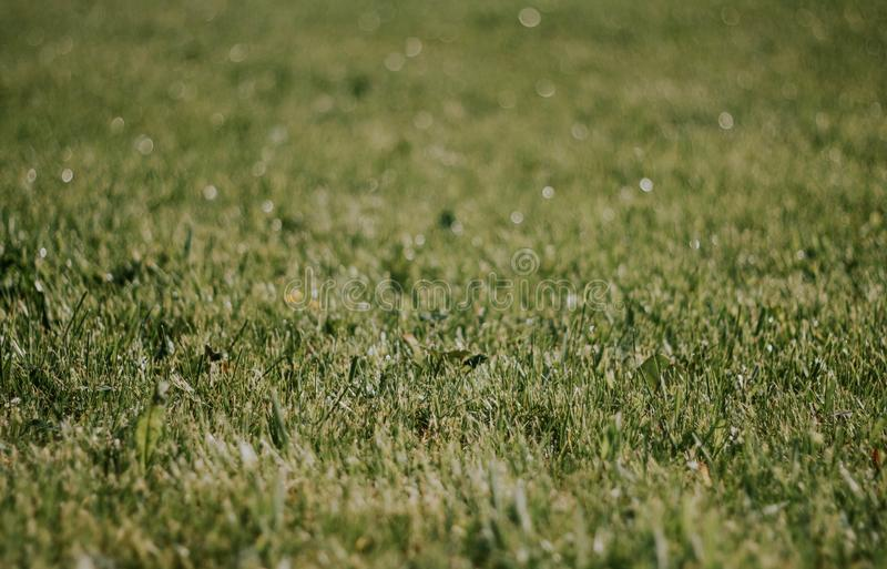 Green grass close-up. Beautiful lawn. The texture of green grass on the field. Background with grass.  stock photo