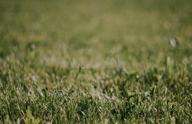 Green grass close-up. Beautiful lawn. The texture of green grass on the field. Background with grass.  stock image