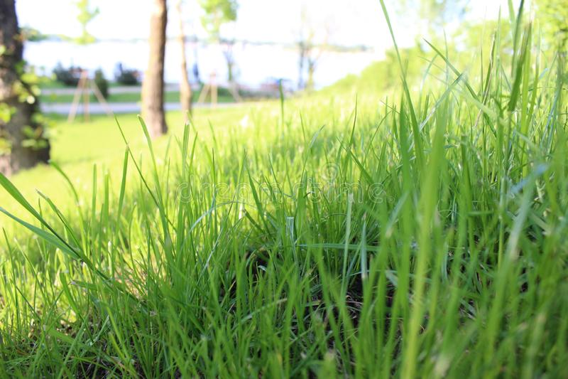 Green grass close up. Sunshine spring and summer day background. royalty free stock photography