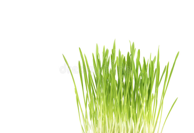 Download Green Grass Close Up, On White Background Stock Photo - Image: 13041344