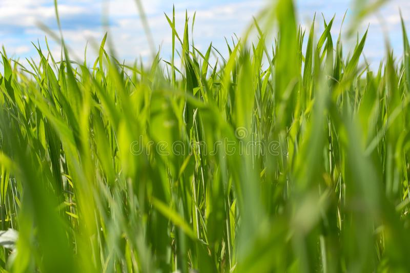 Green grass closeup. On blue sky background, selective focus, foreground blur stock photography