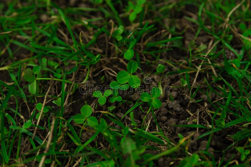 Green grass with clover leaves, planting stock photos