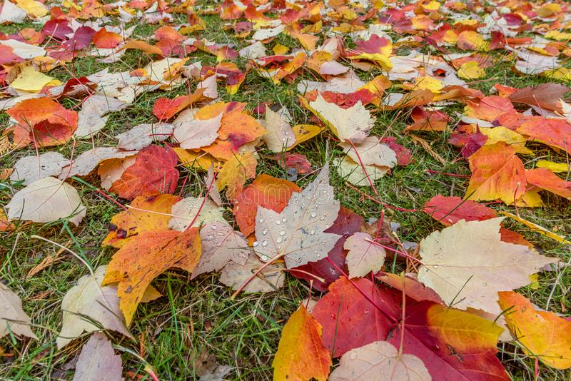 The green grass is covered with fallen colored leaves on a bright day royalty free stock photos