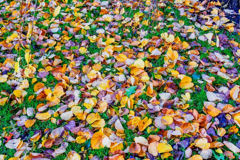 Green grass is covered with fallen colored leaves. The green grass is covered with fallen colored leaves on a bright day royalty free stock photography