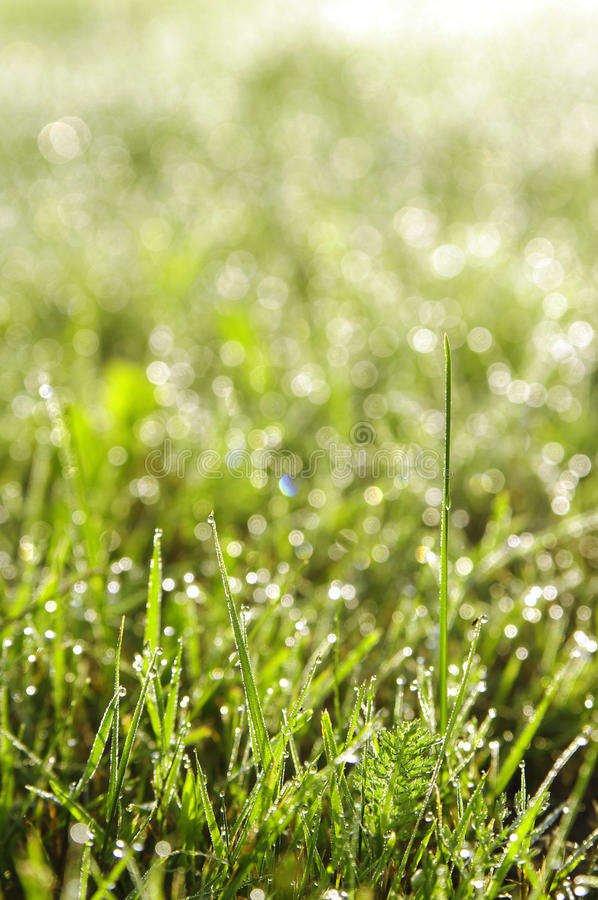 Green Grass In A Dew Stock Image
