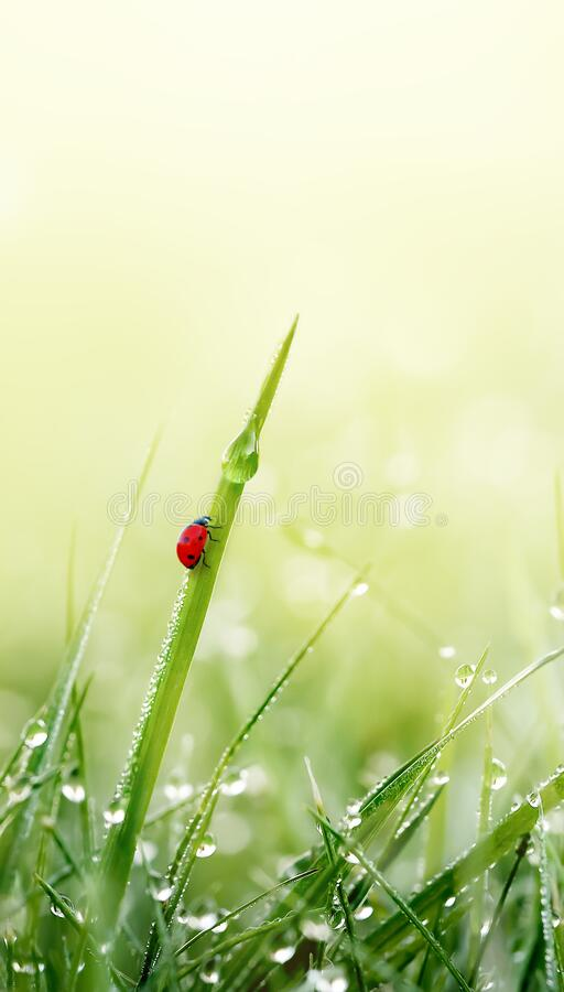 Green grass with ladybug and dew droplets on meadow field in morning light. Spring Nature vertical background. Close-up. Green grass with dew droplets and stock photos