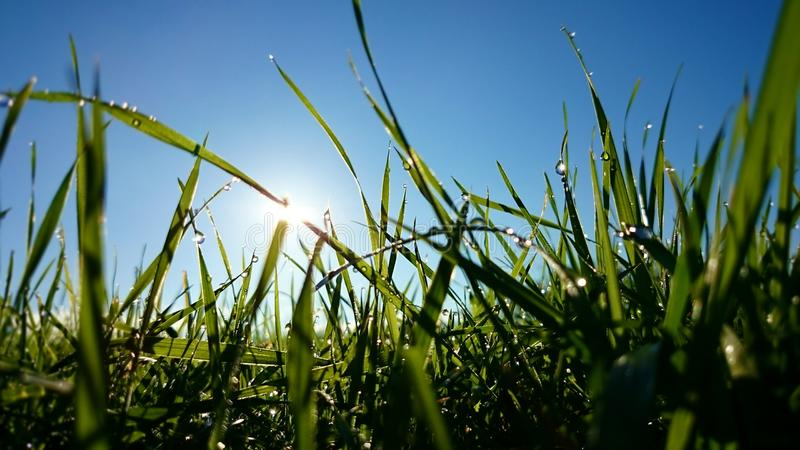 Green grass with dew droplets of water and a clear blue sky, fresh in the morning meadow. Background. Green grass with dew droplets of water and a clear blue sky royalty free stock image