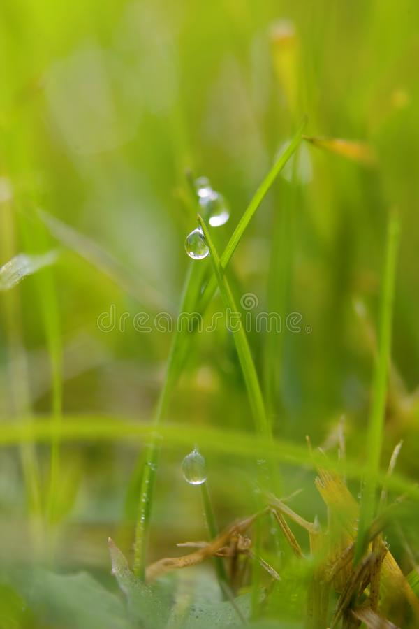 Green grass with dew drops stock images
