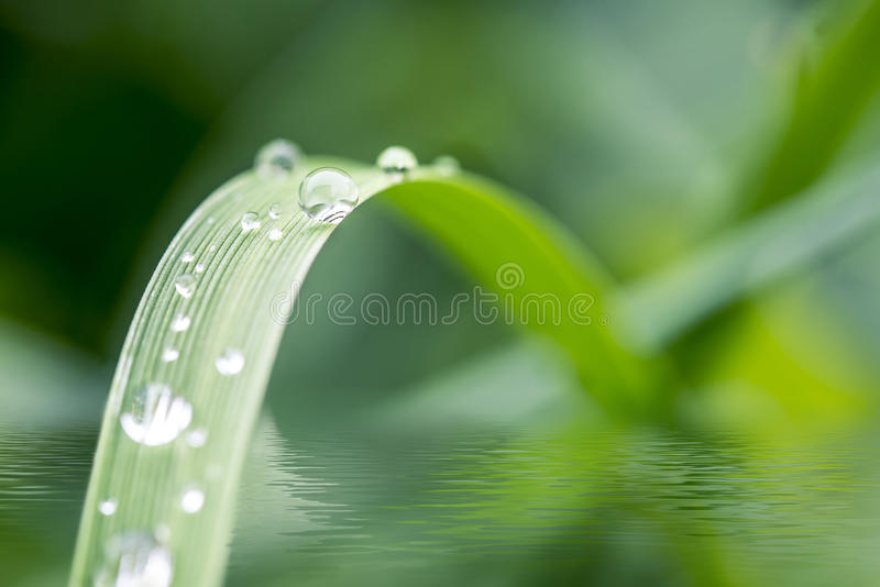 Green grass with dew drops royalty free stock photo
