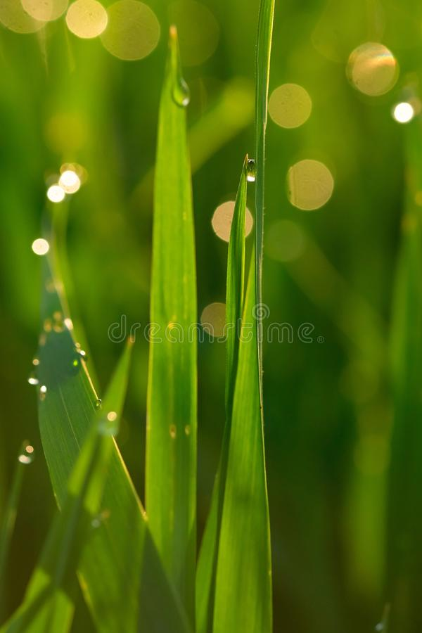 Green grass with dew drops at sunrise close-up on a blurred background royalty free stock photo