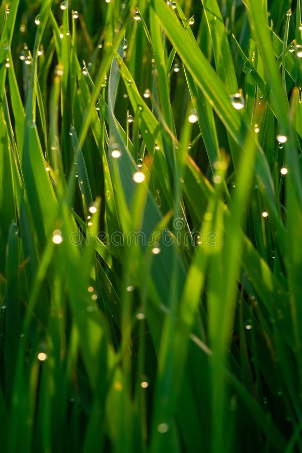 Green grass with dew drops at sunrise in spring against the background of sunlight. Beauty of nature. Close-up. Focus control stock image
