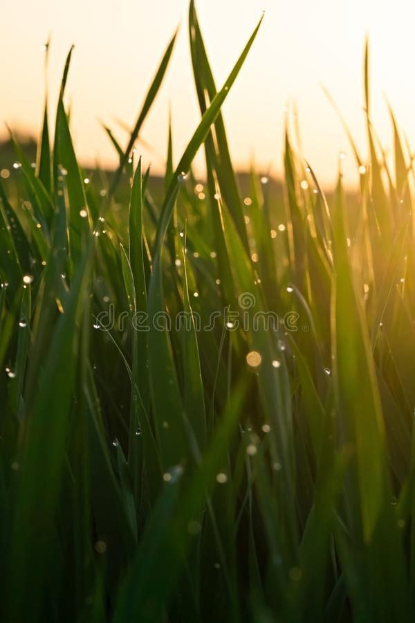 Green grass with dew drops at sunrise in spring against the background of sunlight. Beauty of nature. Close-up. Focus control royalty free stock photography