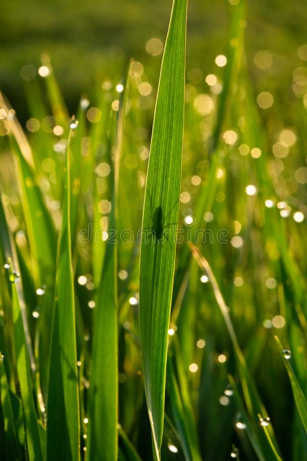 Green grass with dew drops at sunrise in spring against the background of sunlight. Beauty of nature. Close-up. Focus control royalty free stock images