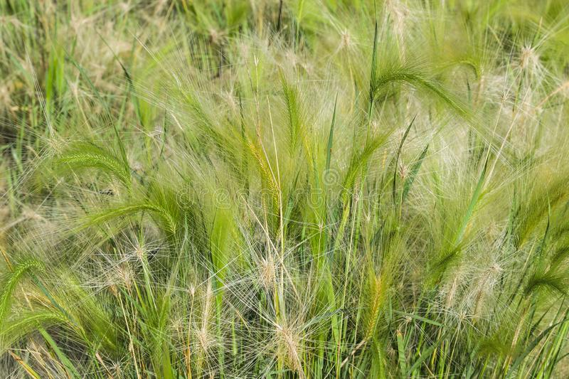 Green grass feather grass in the field royalty free stock image