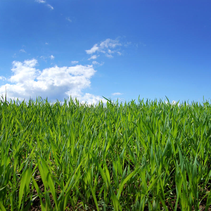 Green grass field and blue sky. Spring green grass field and blue sky stock photo