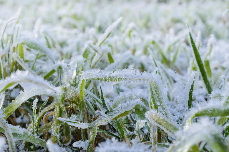 Green grass field covered with frost. Shallow depth of field royalty free stock photos