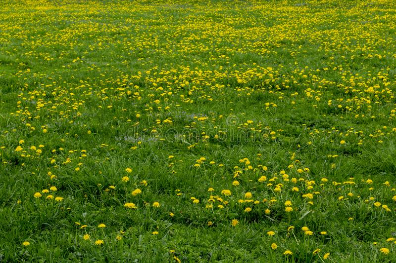 Green grass field with dandelions royalty free stock photo