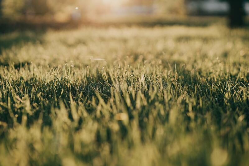 Green grass field in the sunset light. In summer royalty free stock photo