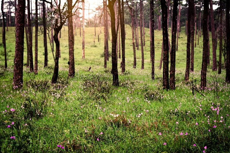 Green grass fields with purple flowers in pine tree forest royalty free stock image