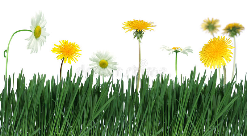 Download Green grass and flower stock photo. Image of camomiles - 12729598