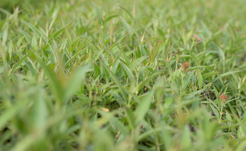 Green grass with flowers in park landscape backgroud. Thailand royalty free stock image