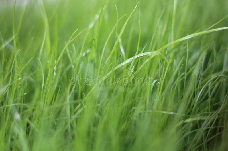 Green grass, fresh, soft, young, natural, in spring, close-up, with a blurred background. stock photography