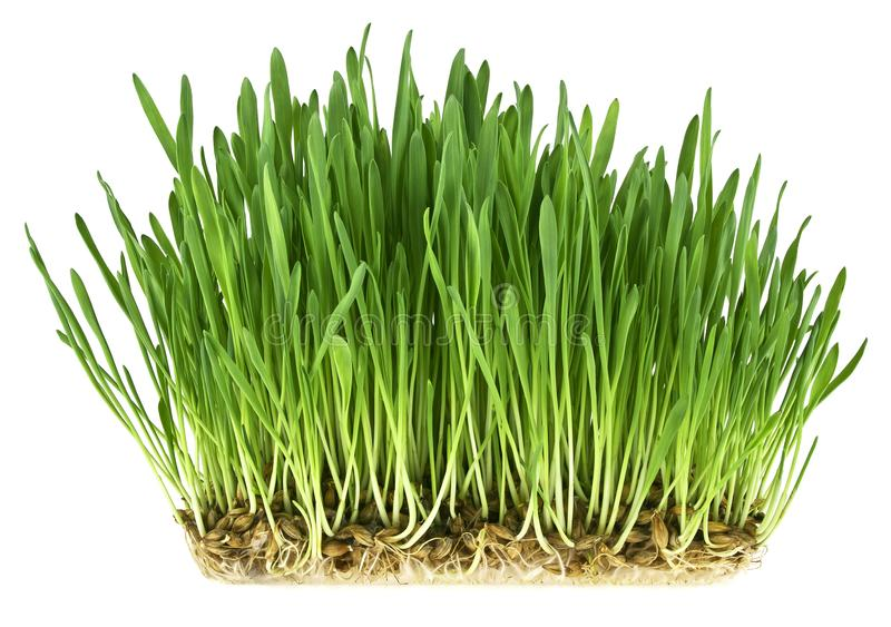 Green grass germination from wheat grains with roots. Image on a white background royalty free stock image