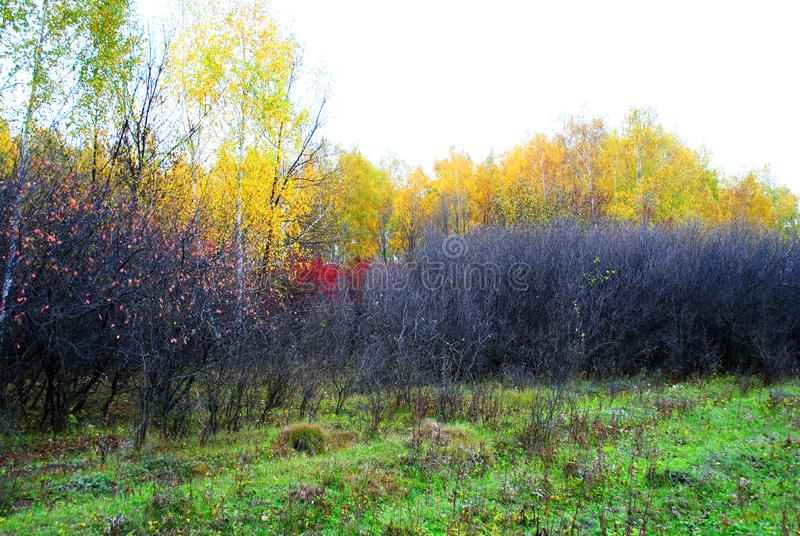 Green grass glade and thorn bushes without leaves on the edge of the yellow birch forest, cloudy rainy sky. In Ukraine in autumn stock image
