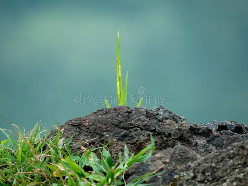 Green Grass Growing On Rock stock image