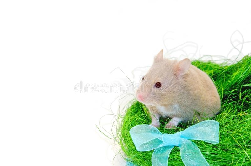 Green grass hamster cute and ribbon stock photo