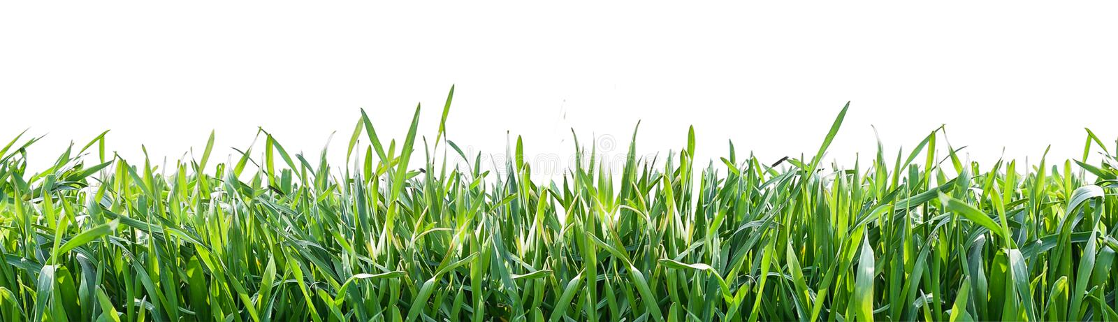 Green grass isolated on white background. Natural background royalty free stock photos