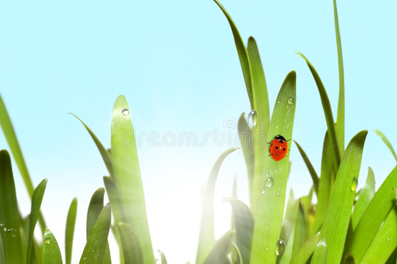 Green grass and ladybug